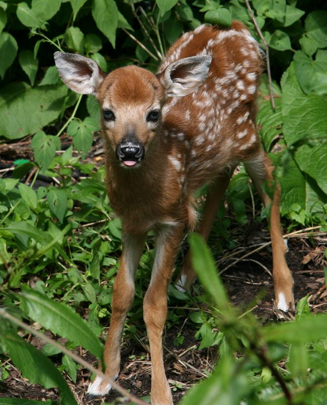 baby whitetail fawn in - photo #32